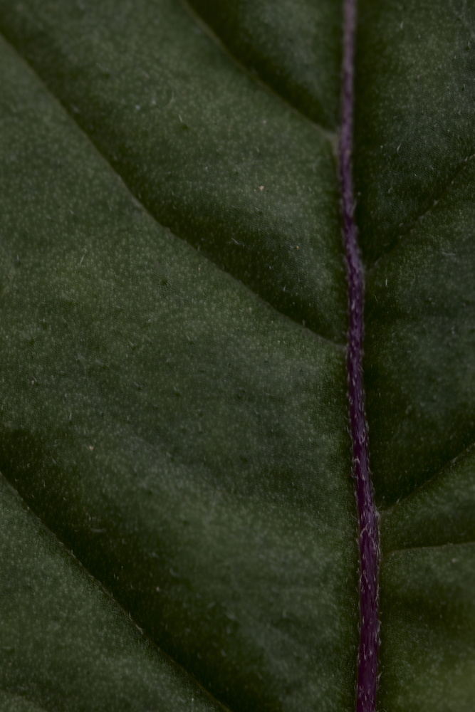 Midrib of a leaf. by Aljo Antony