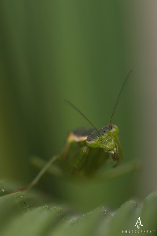 Praying mantis cleans itself. by Aljo Antony