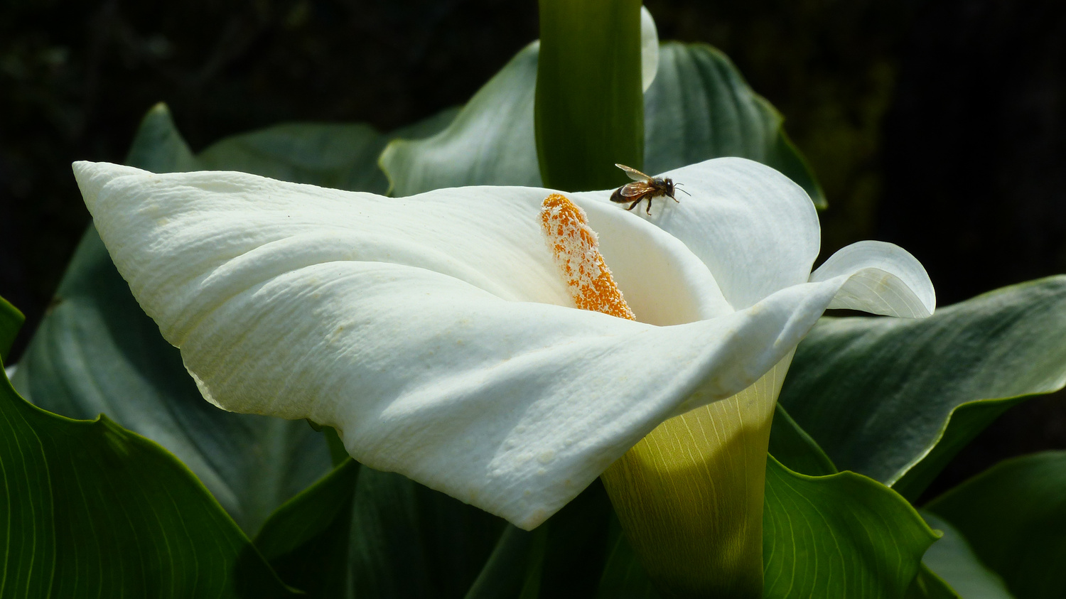 Calla with Bee by Linda Bacon