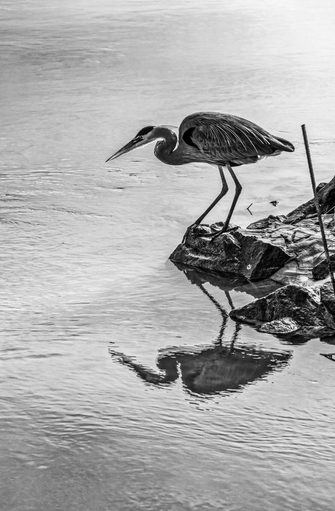 Heron sees himself -- Day 738 by Dave Haynie