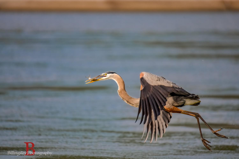 Blue Heron grabbing a snack by Cliff Billingsley