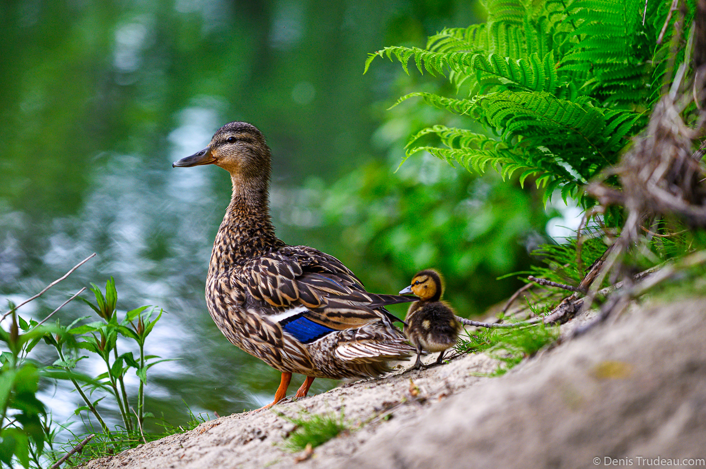 Ducks by Denis Trudeau