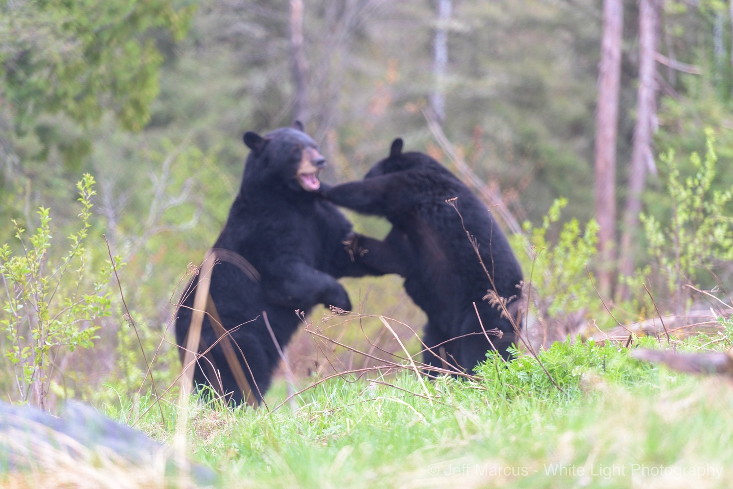 Bears Fighting by Jeff Marcus