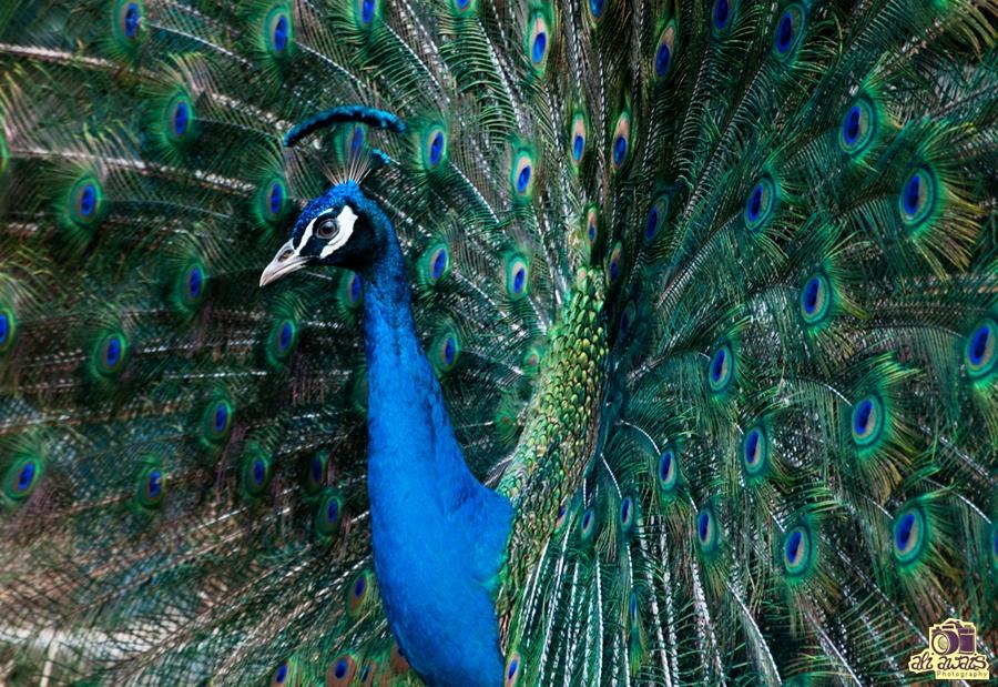 Peacock by ali awais