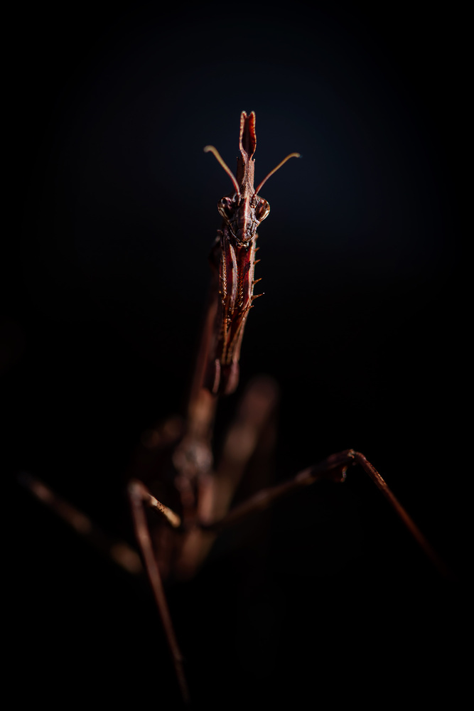 Empusa pennata - Conehead mantis by Geoffrey Gilson