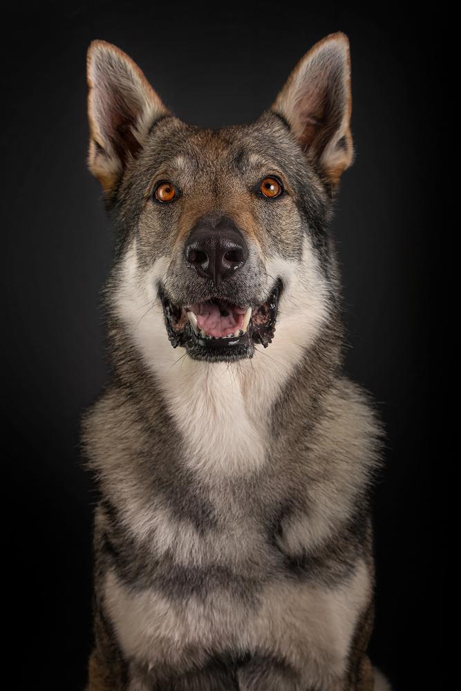 Joy, The Wolfdog. by Geoffrey Gilson