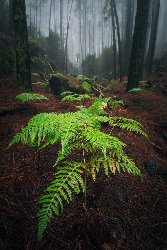 La Corona forestal by Geoffrey Gilson