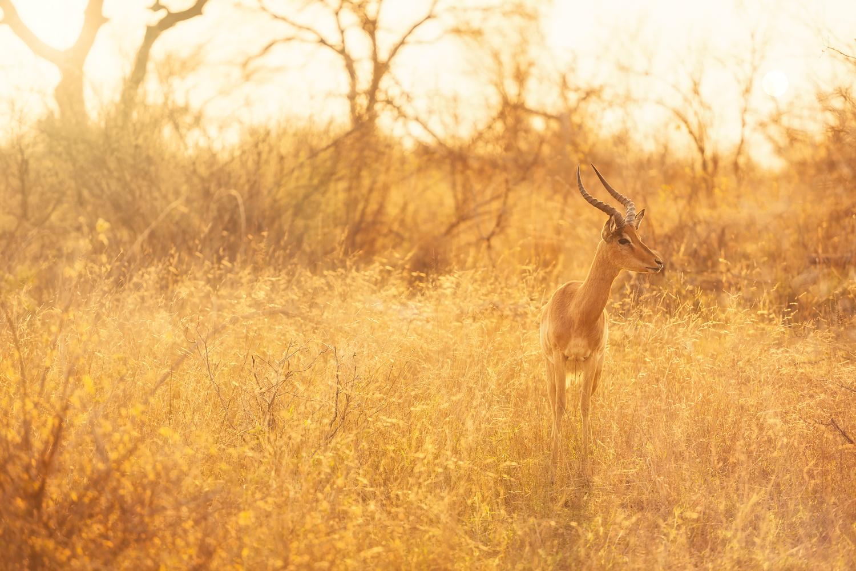 Impala by Geoffrey Gilson