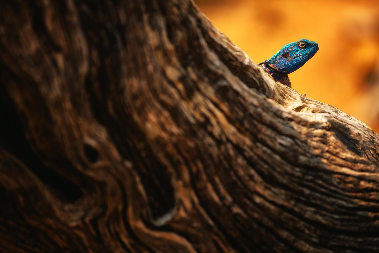 Tree Agama by Geoffrey Gilson