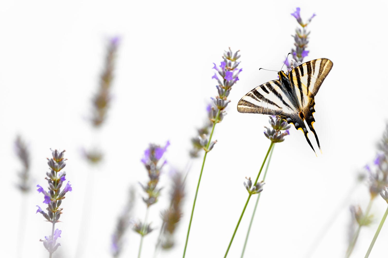 Scarce swallowtail by Geoffrey Gilson