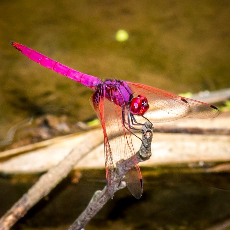Crimson Marsh Glider by Richard Nurse