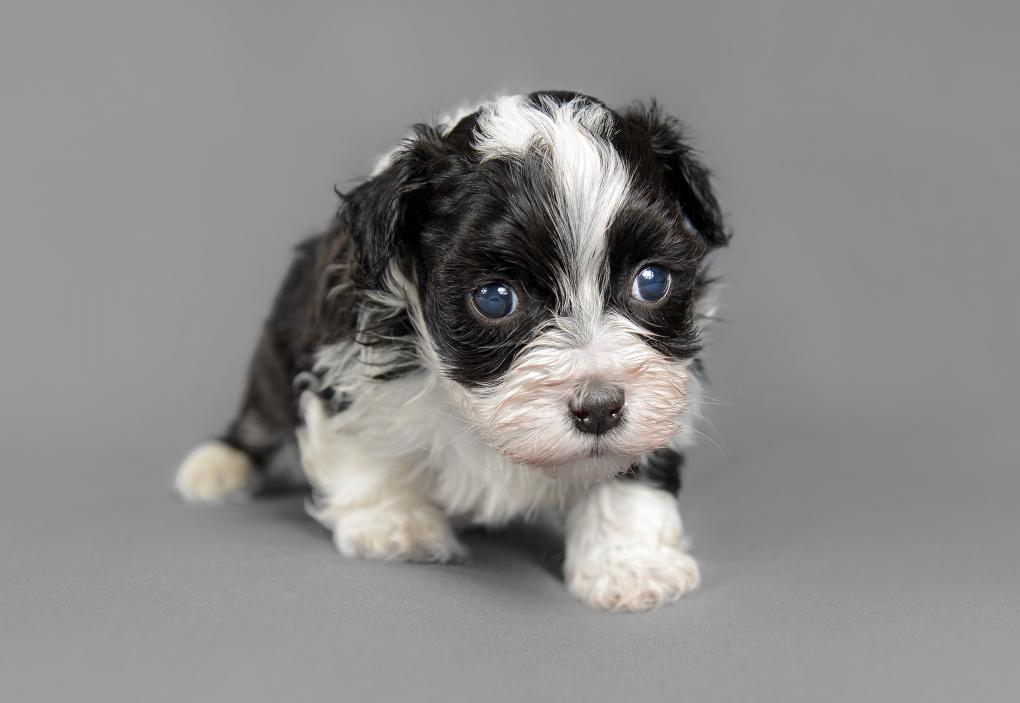 Bichon Havanese puppy by Kyriakos Stavrou