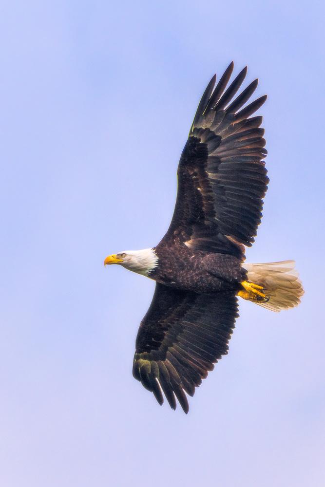 Eagle's Flight by Daniel Gomez