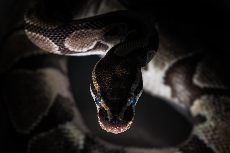 Snake Eyes by Dan Grayum