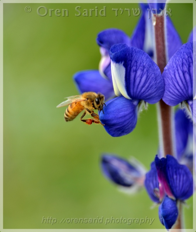 A bee on a lupin by Oren Sarid