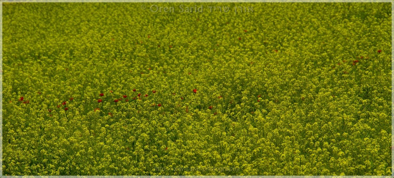 Poppies in a mustard field by Oren Sarid