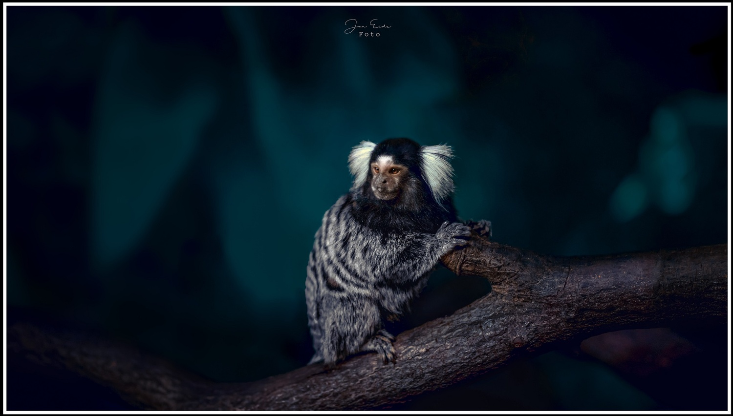 Little Marmoset by Jan Eide