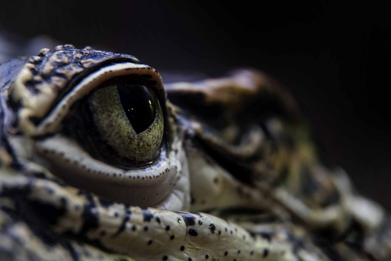 Cuban Crocodile (Crocodylus rhombifer) by Istvan Kerekes