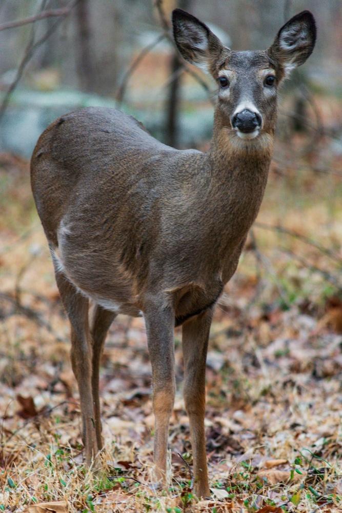 Curious Deer by Nate Pool