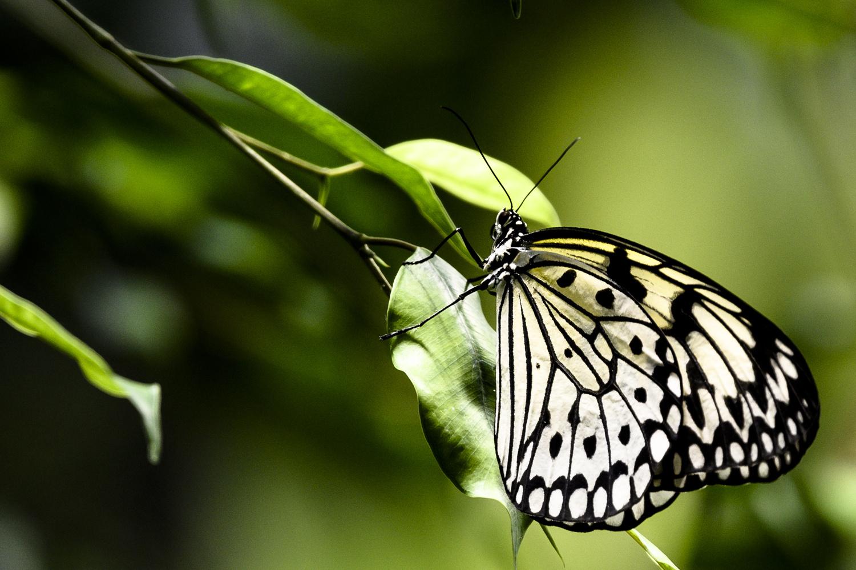 White Butterfly by Dennis Billstein