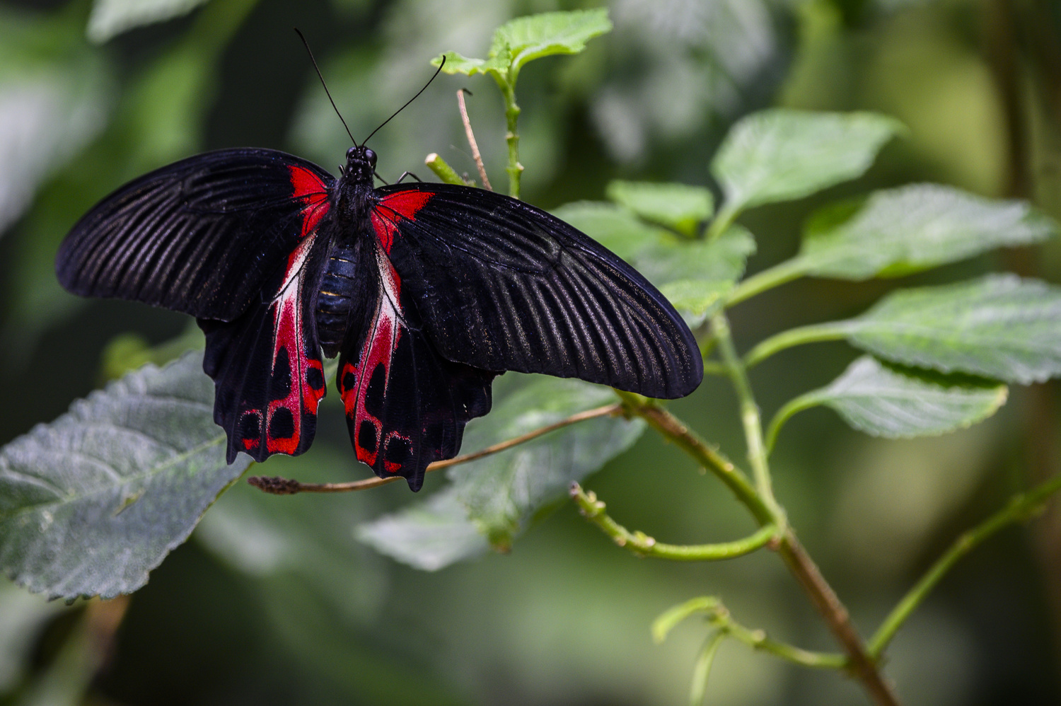 Red and Black Butterfly by Dennis Billstein