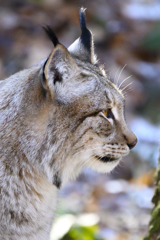 Focused Lynx by Dennis Billstein