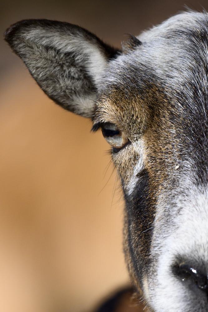 Goat by Dennis Billstein