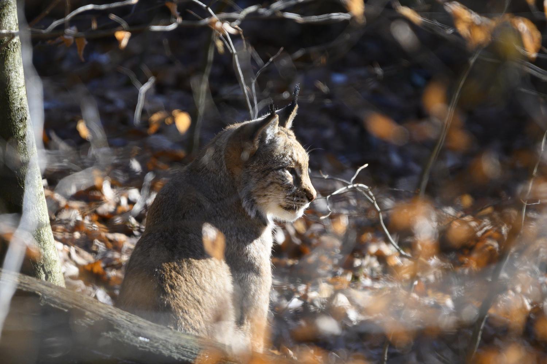 Lynx in Forest by Dennis Billstein