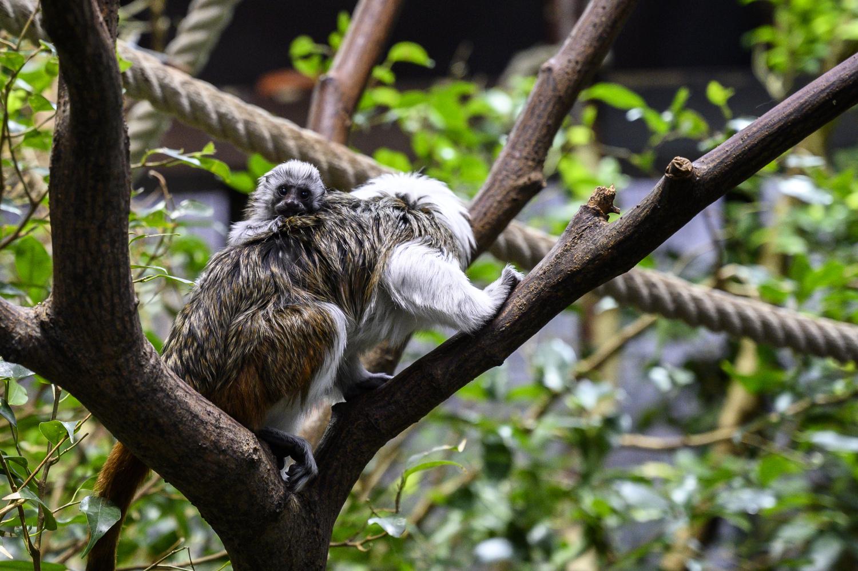 Monkey with Baby by Dennis Billstein