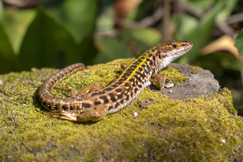 Lizard by Dennis Billstein