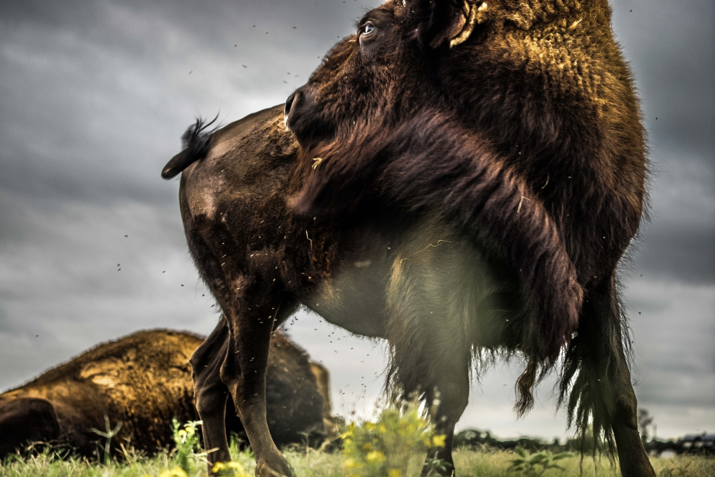 Texas Bison by Zach Ashcraft