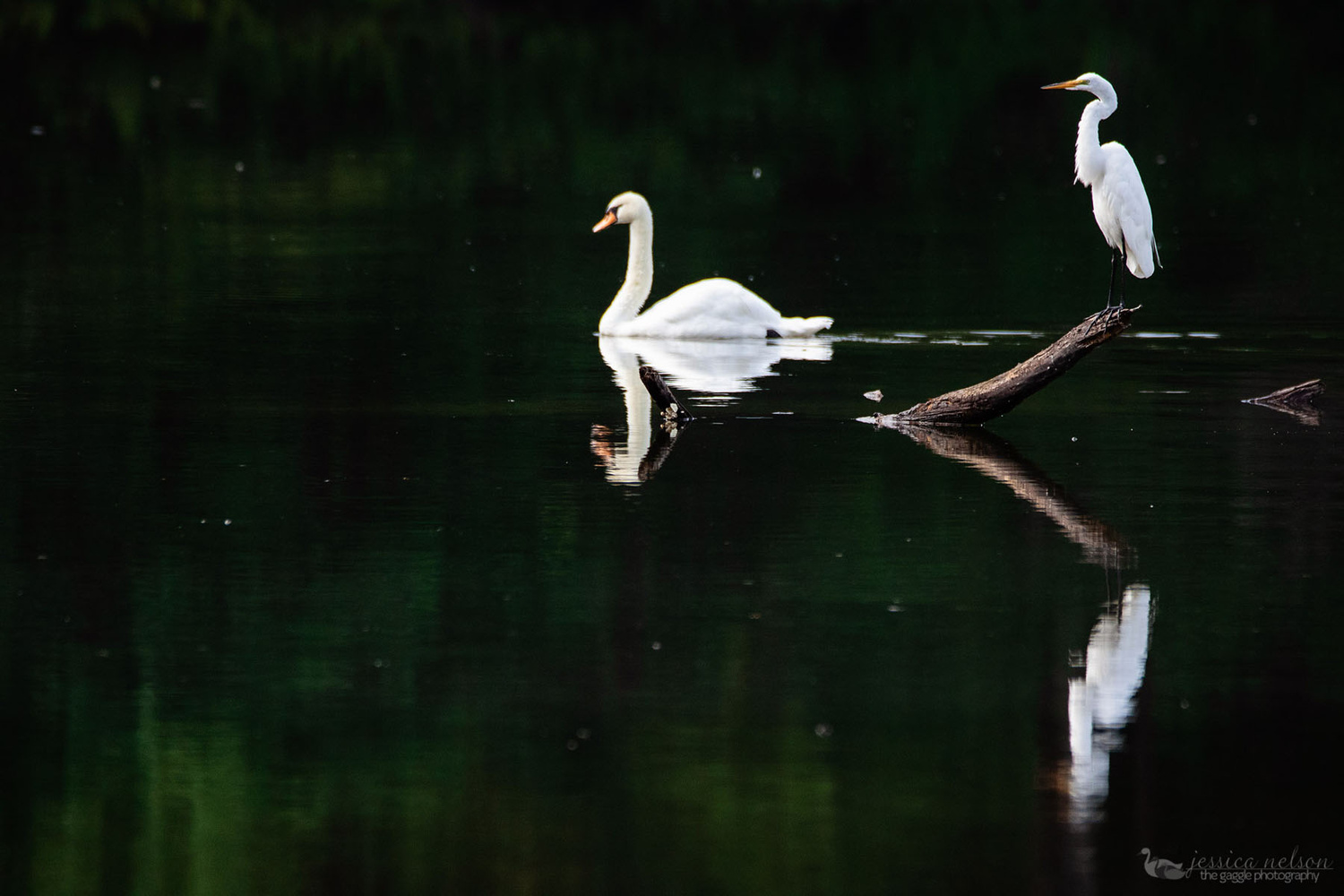 Egret and Swan by JESSICA NELSON