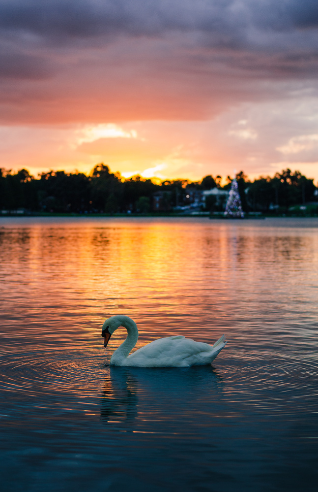 Sunset Swan by Courtney Ruckman