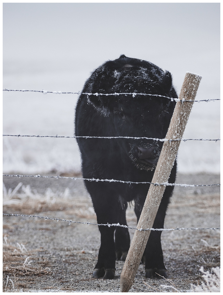 A cow and its ice pop by Logan Johnson