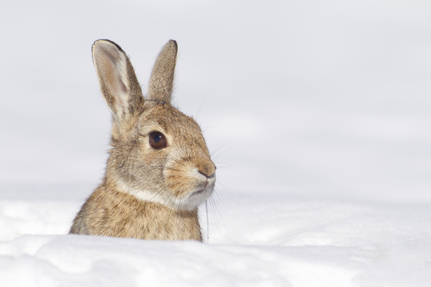Eastern Cottontail - After the Blizzard by Tom Reichner