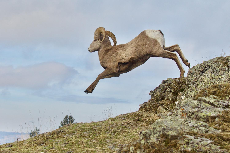 Leaping Bighorn Ram by Tom Reichner