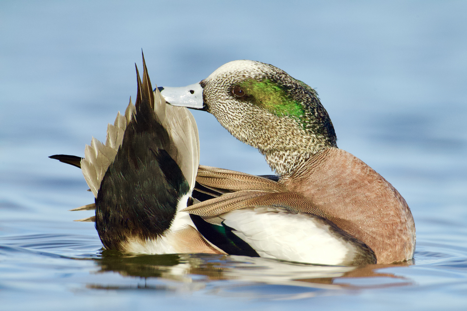 Preening Wigeon - Maryland, USA by Tom Reichner