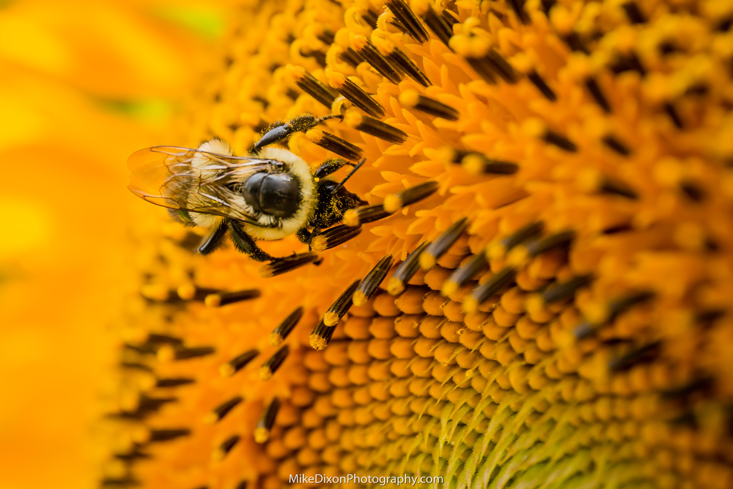 Sunflower Bee by Mike Dixon