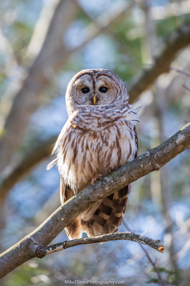 Barred Owl by Mike Dixon