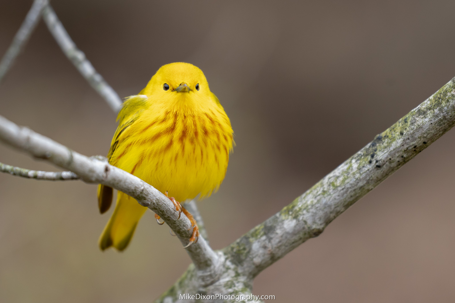 Yellow Warbler by Mike Dixon