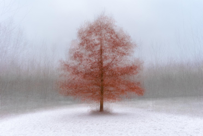Snow Oak by Alan Brown