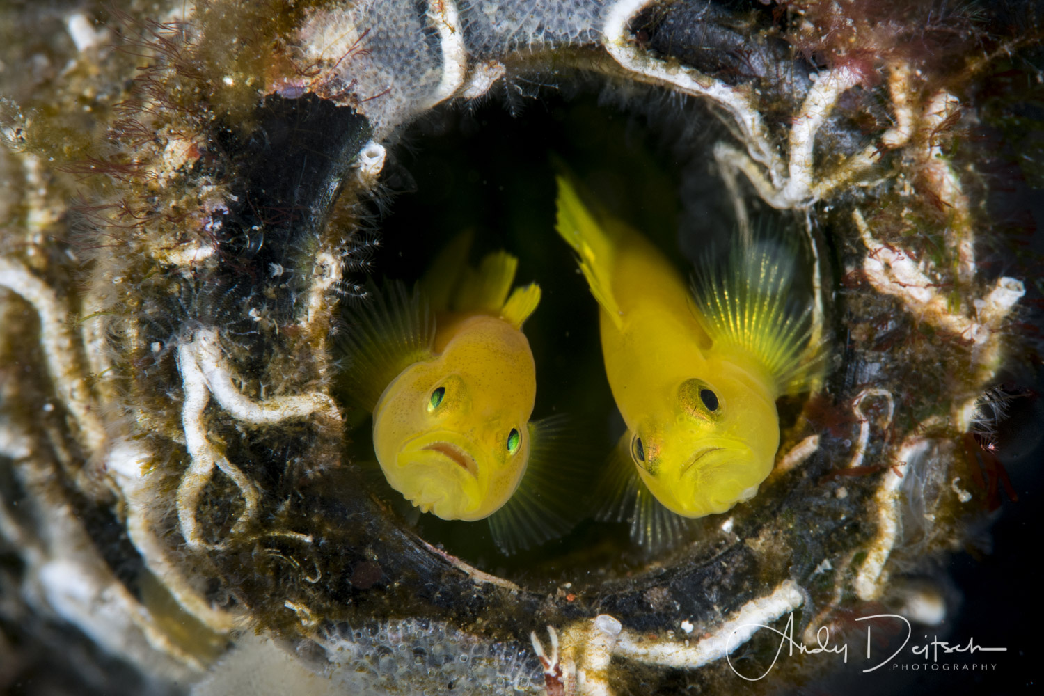 Ornate Gobies by Andy Deitsch
