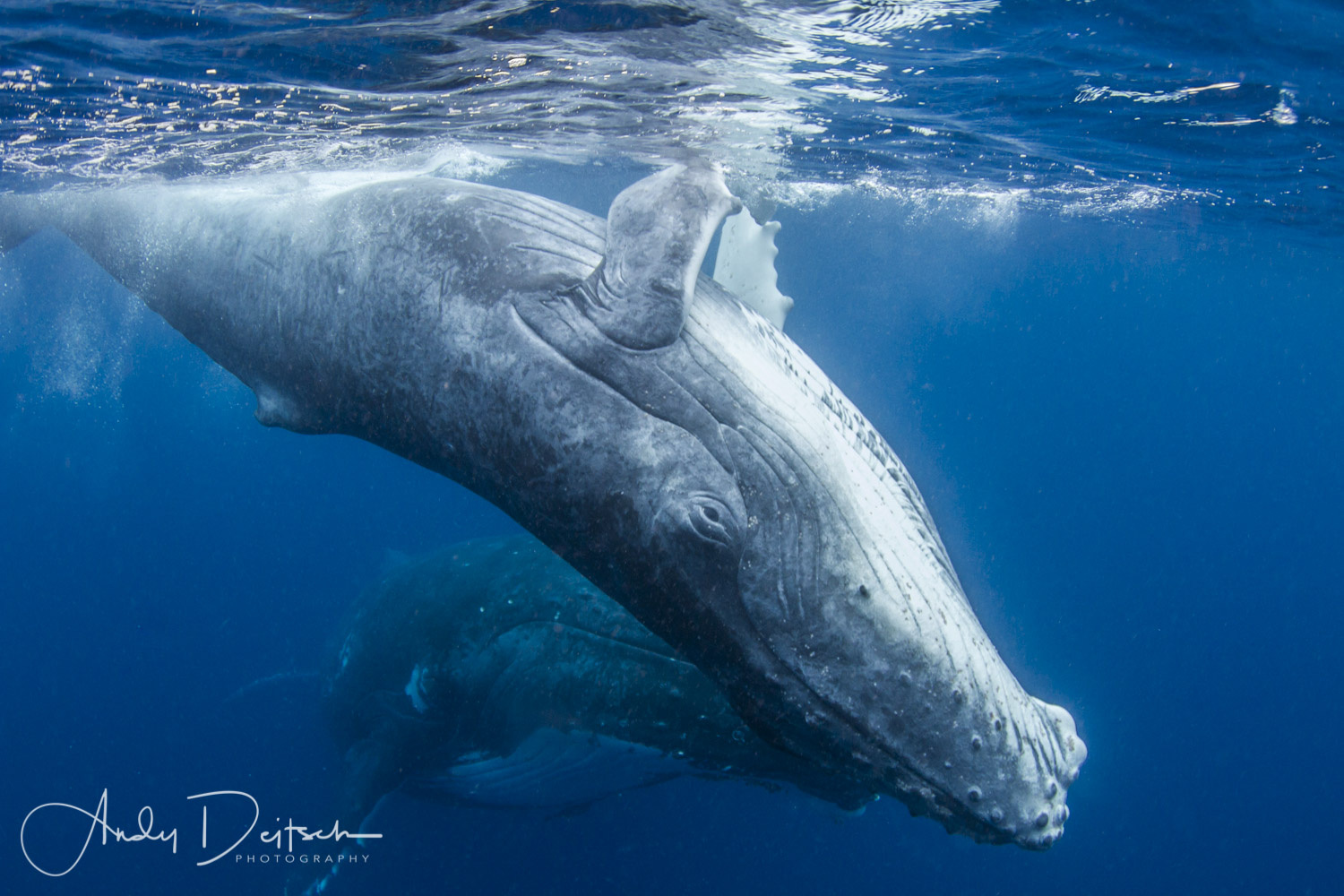 Baby Humpback by Andy Deitsch