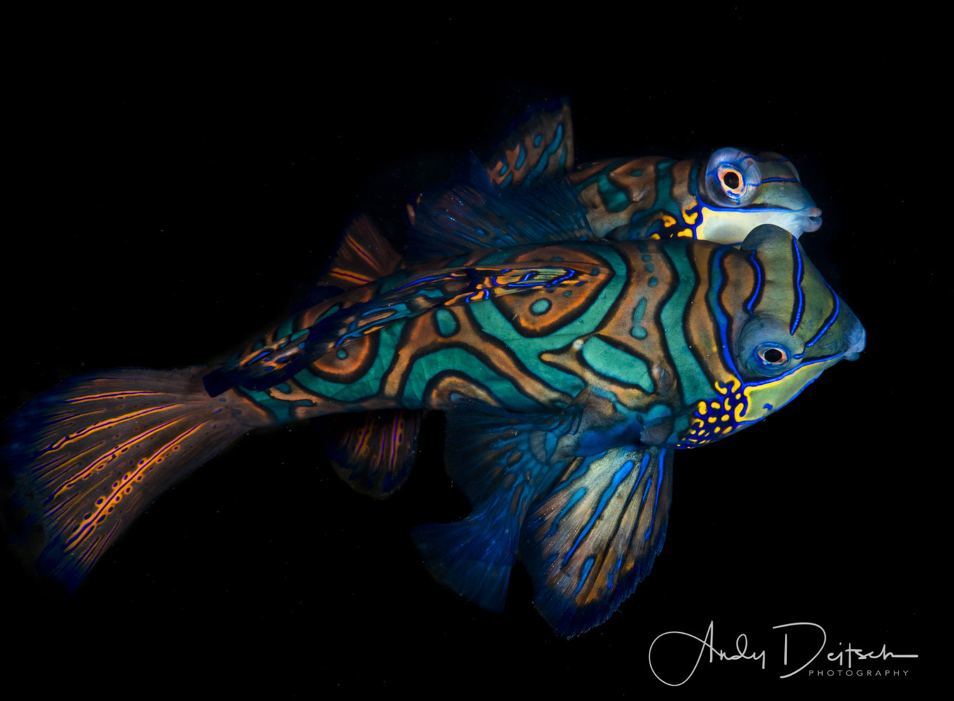 Mating Mandarinfish by Andy Deitsch