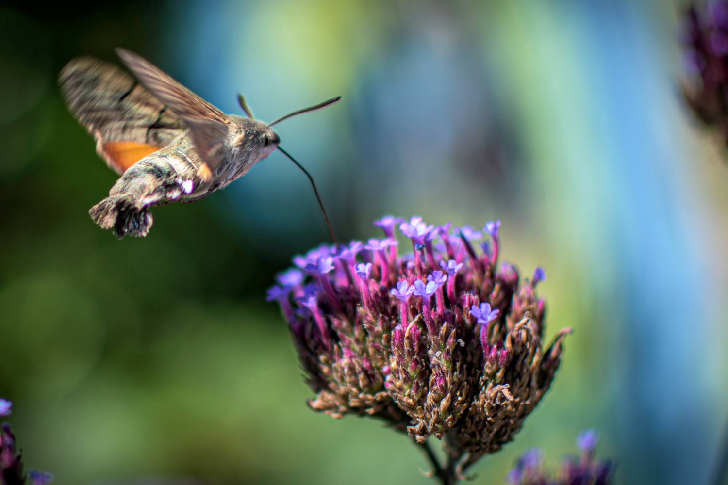 Hummingbird Moth by Sam Fitzgerald
