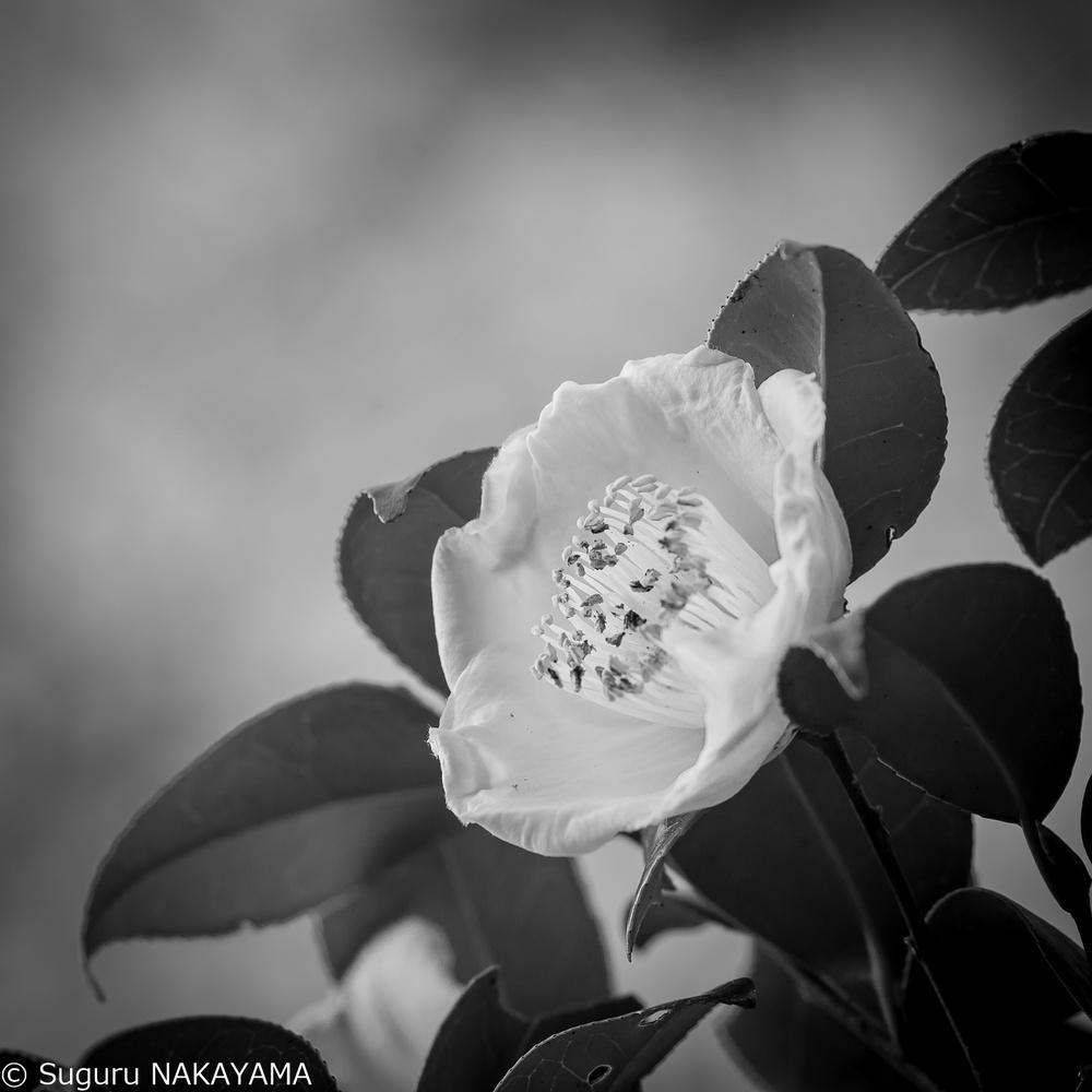 Camellia study-20181208-1 by Suguru NAKAYAMA