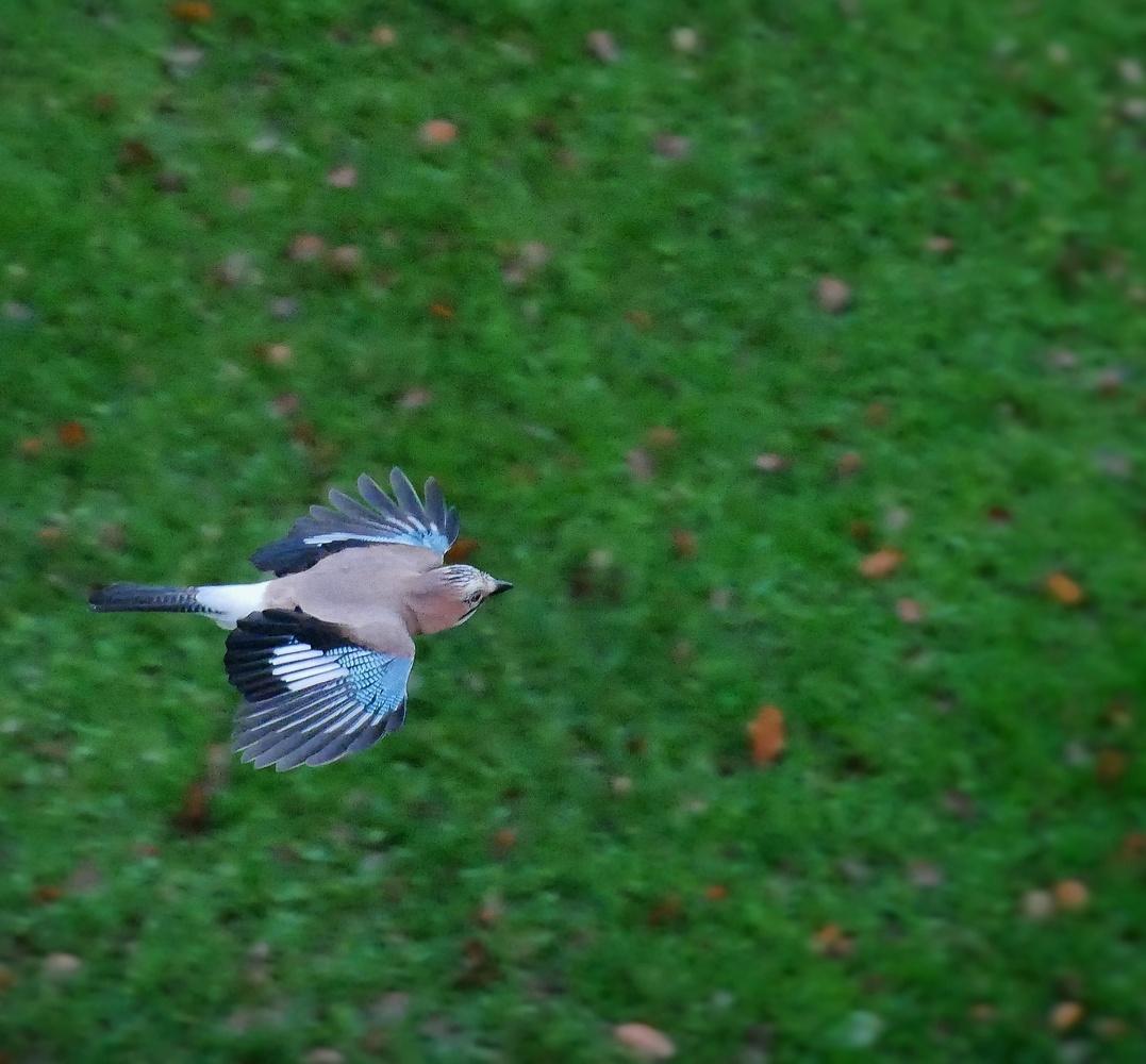 Jay flying by Jack Sprog