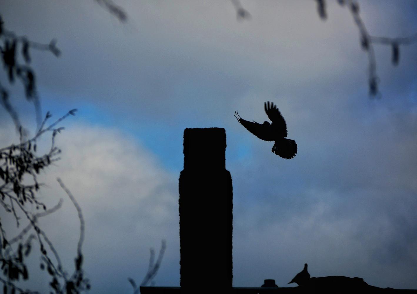 Dancing dove by Jack Sprog