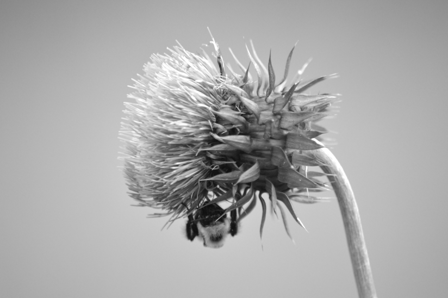 Bumblebee Thistle by Thomas Herbst