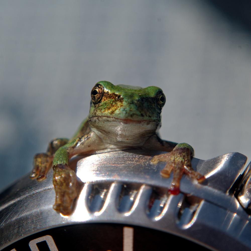 Baby Frog on Watch by Dan Seefeldt